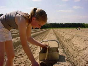 Het oogsten van asperges.